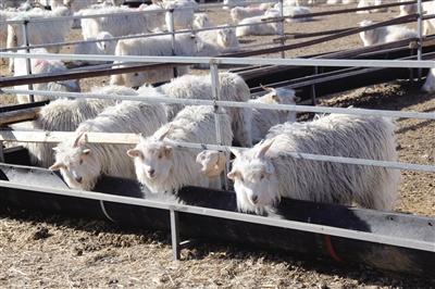 建起肉羊养殖场